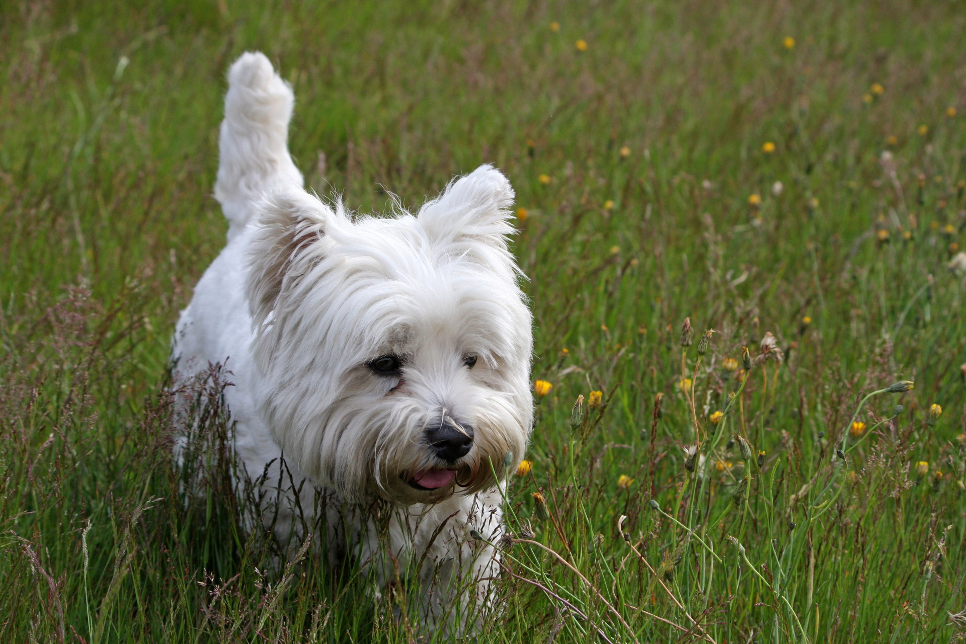 West highland white terrier layka