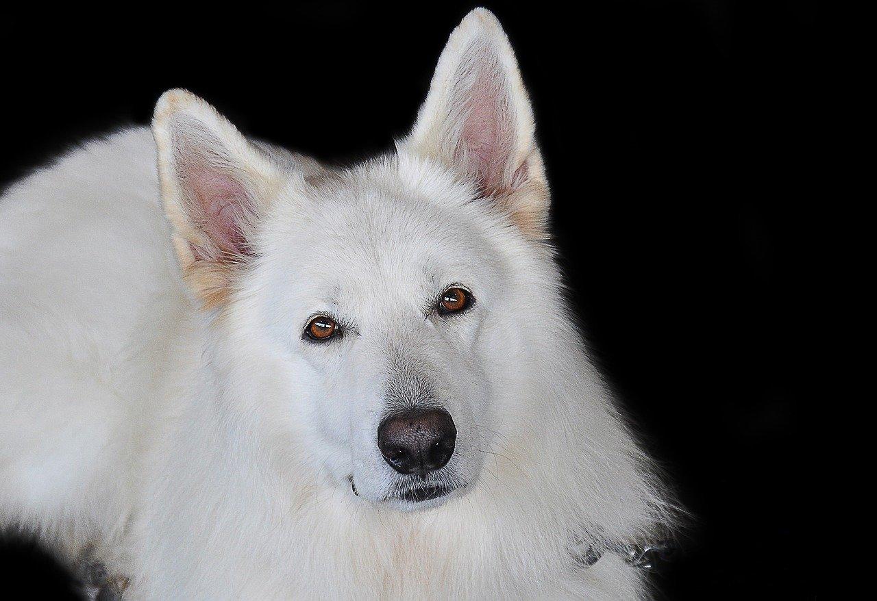 12 populaire herdershonden - Witte Duitse Herdershond