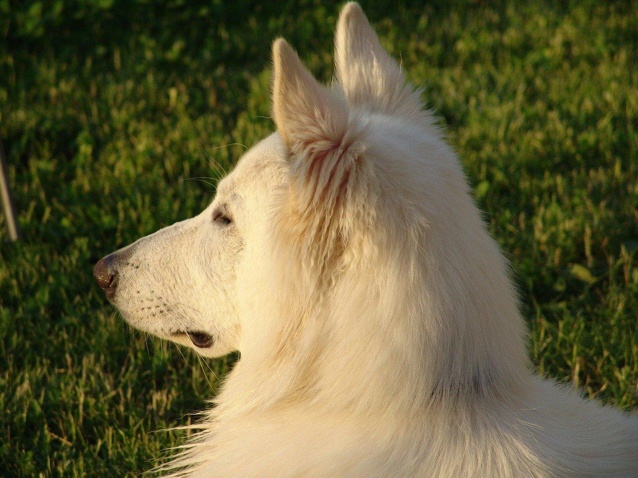 witte herder hond