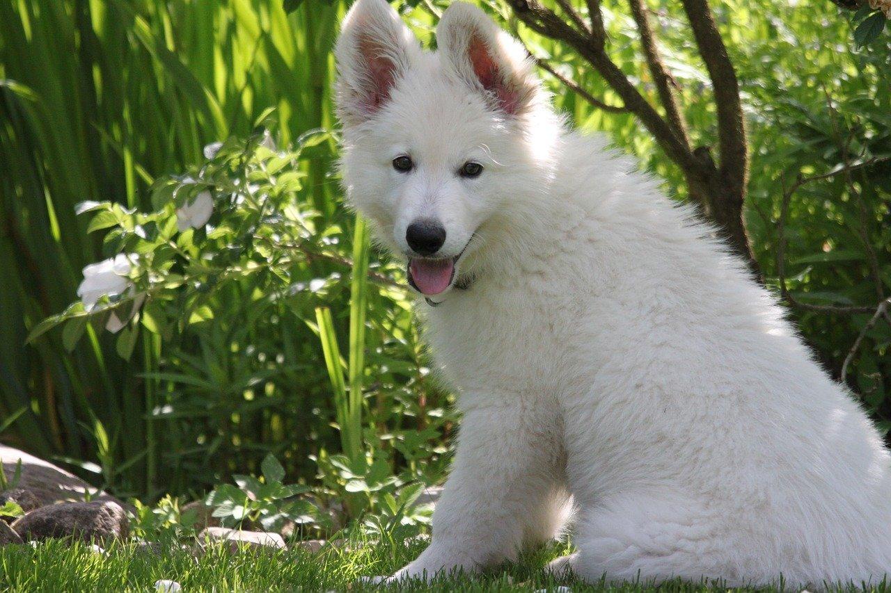 witte herder puppy