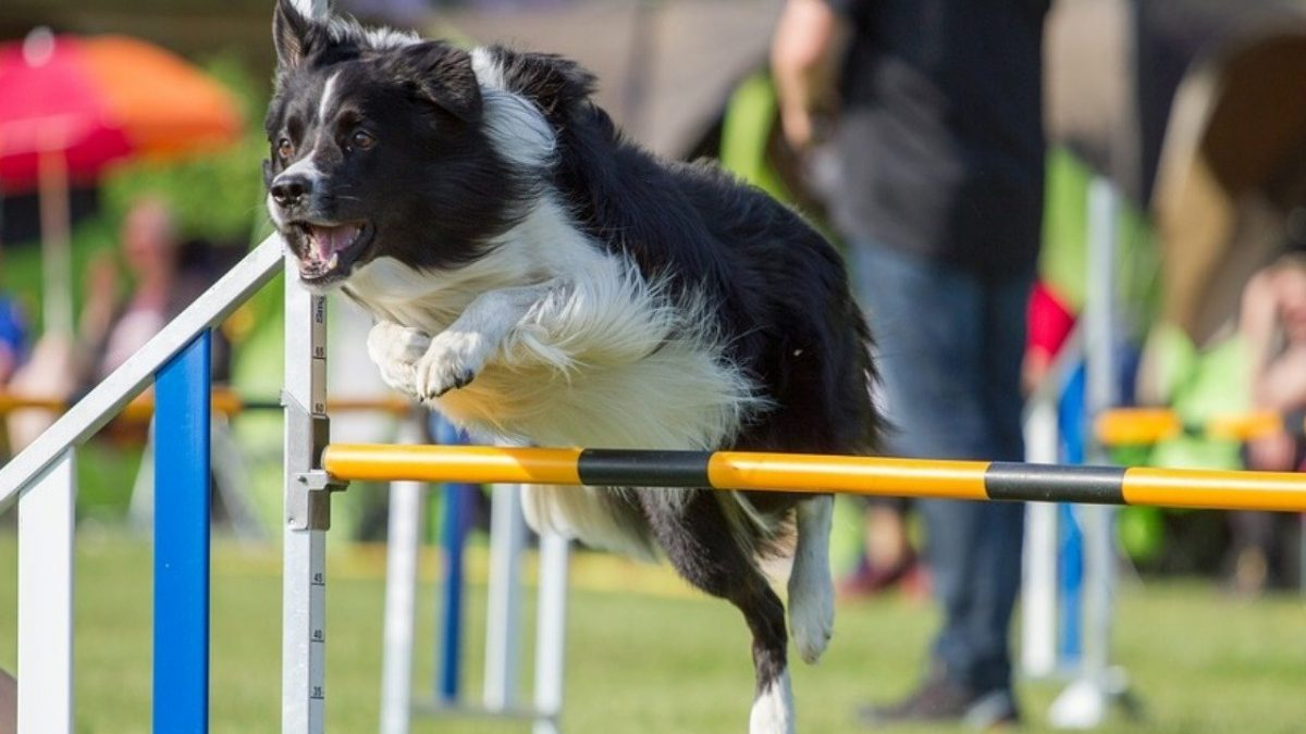 agility-springen