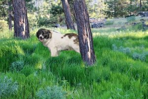 aidi - chien primitif marocain