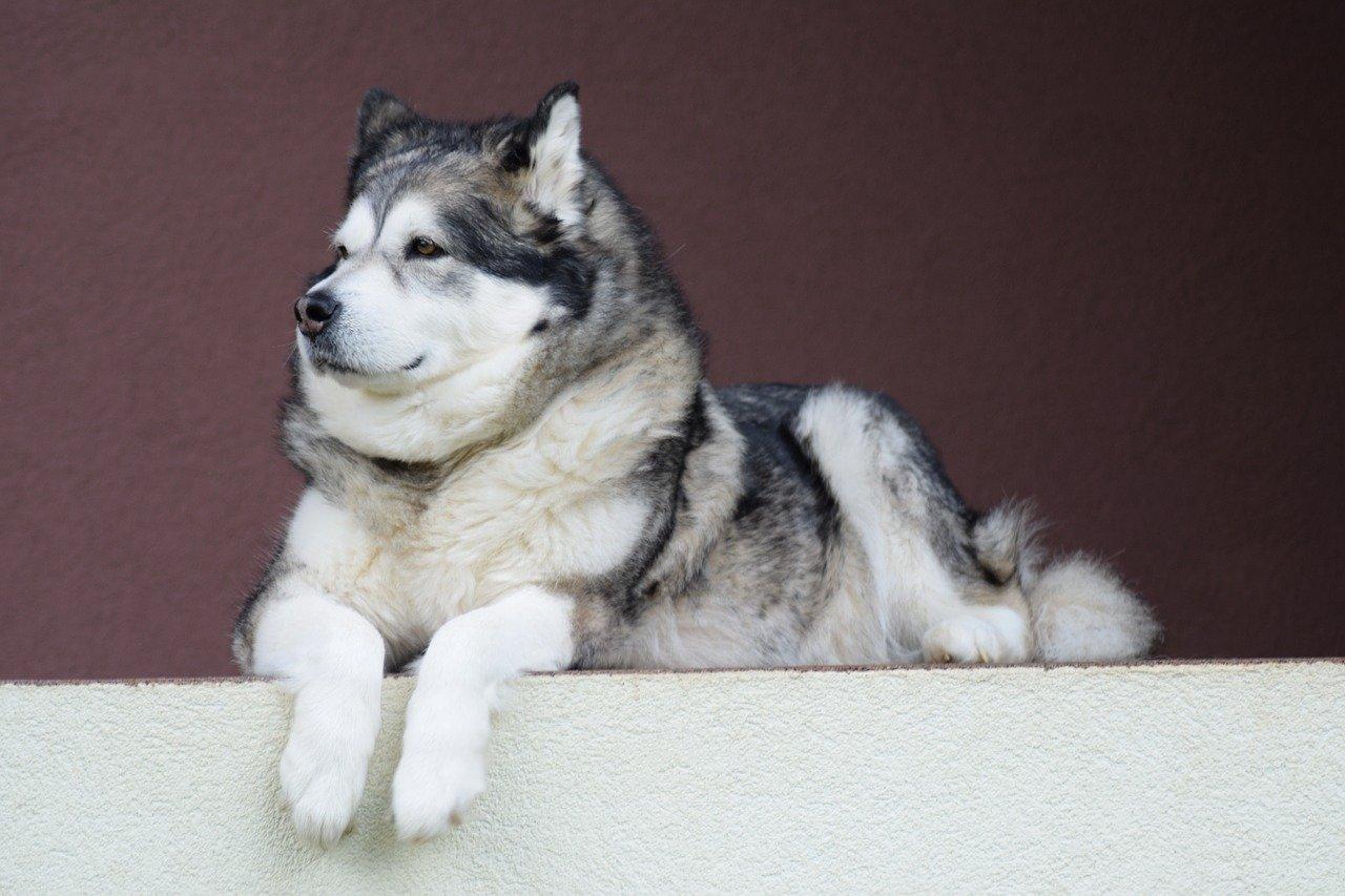alaskan-malamute - grote hondenrassen