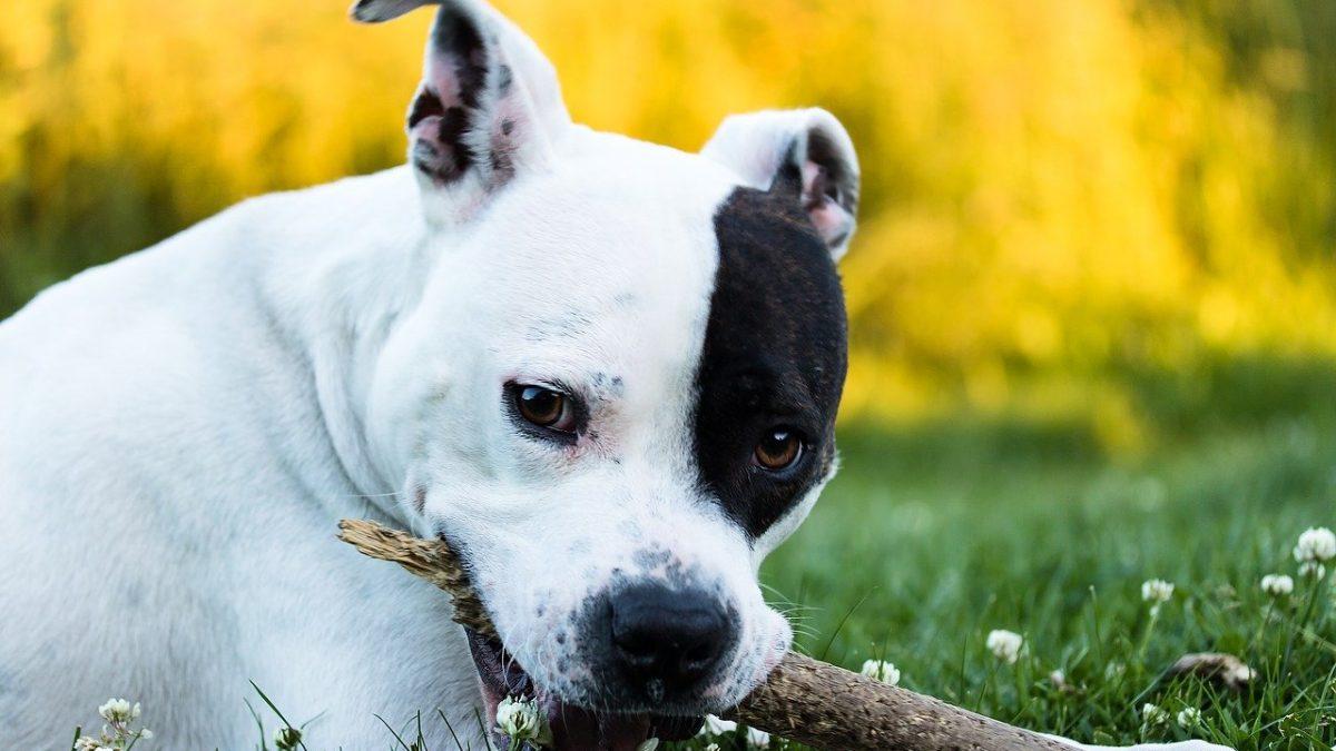 Amerikaanse staffordshire Terrier - american stafford 2390846 1280