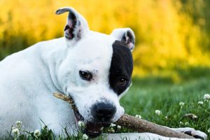 american-staffordshire-terrier - american stafford 2390846 1280