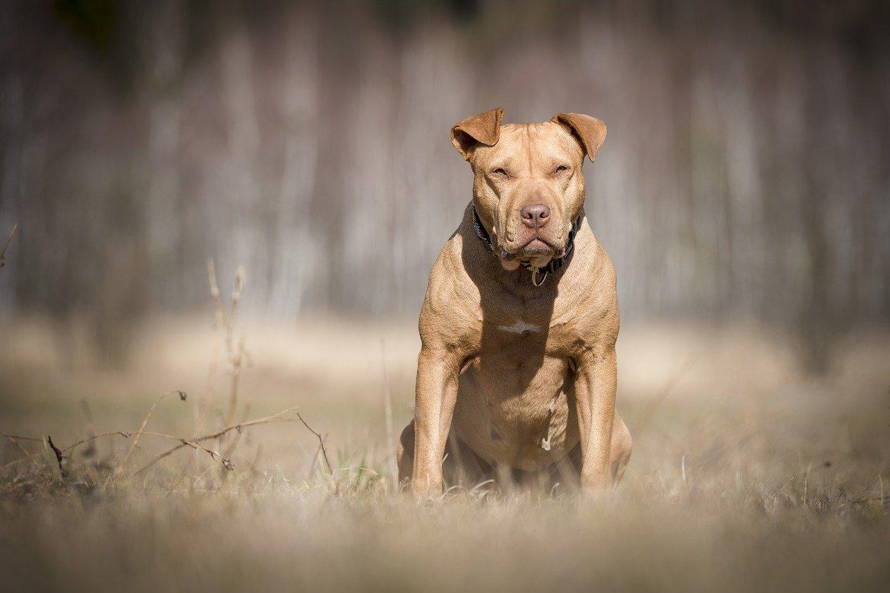 Gevaarlijke hondenrassen - american-staffordshire-terrier