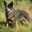 Australien Cattledog
