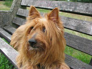 Australische Terrier - australian terrier 76296 1280