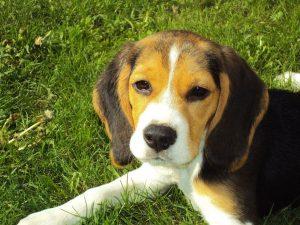 beagle_puppy - beagle puppy