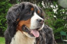 Bernese mountain hond