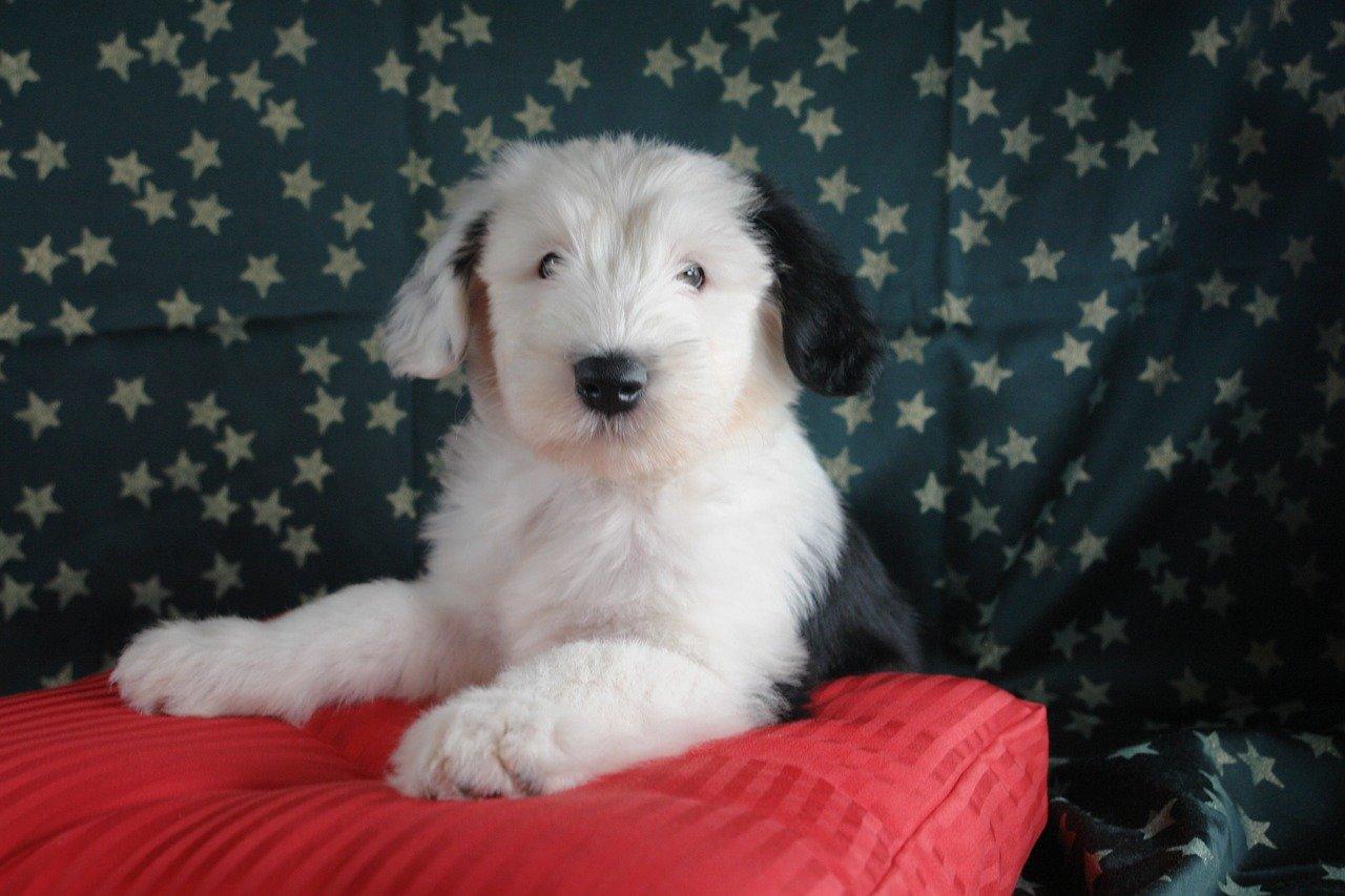 bobtail-puppie