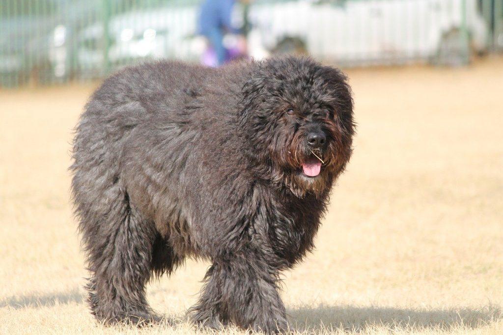 bouvier of vlaamse Koehond zijn Belgische hondenrassen