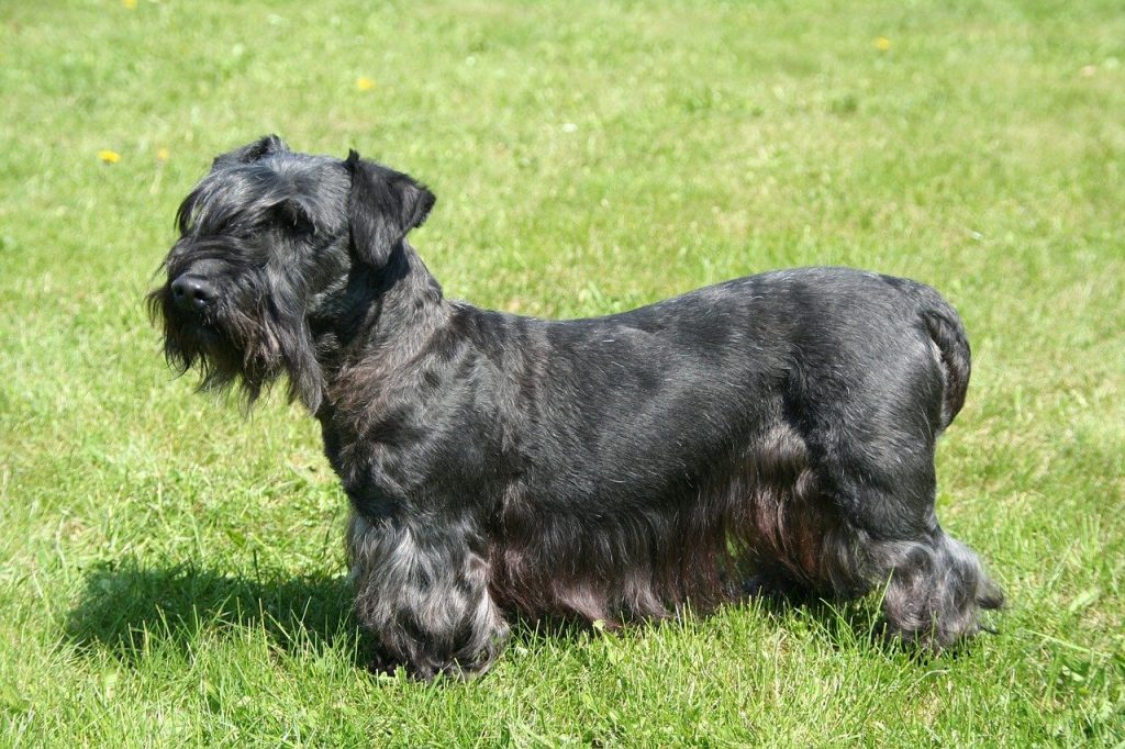 Cesky Terrier of Boheemse Terrier