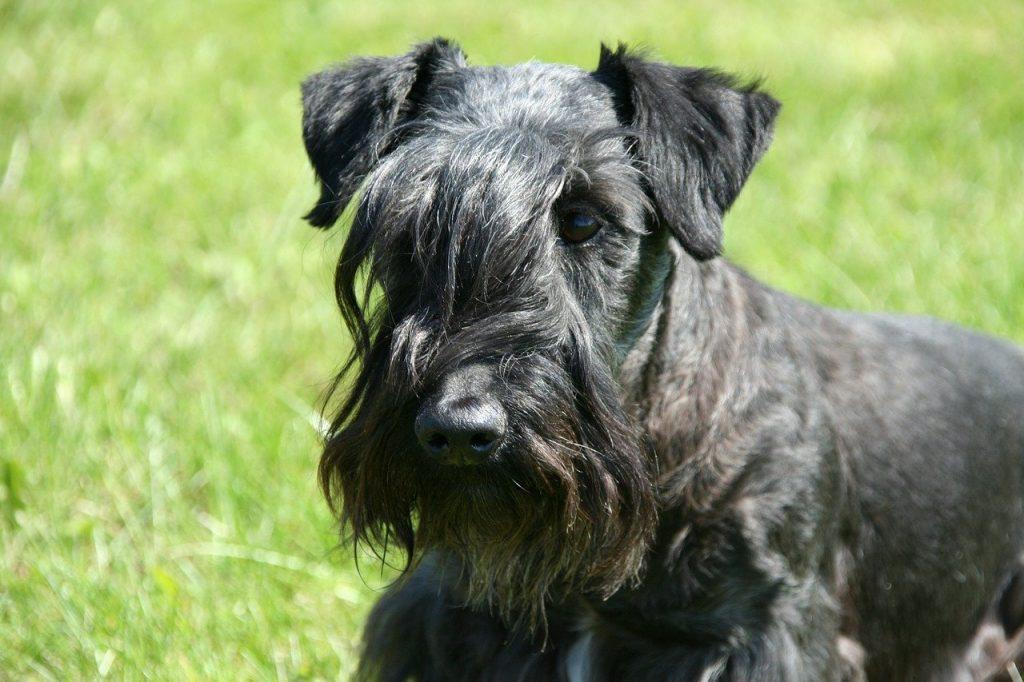 Cesky Terrier of Boheemse Terrier