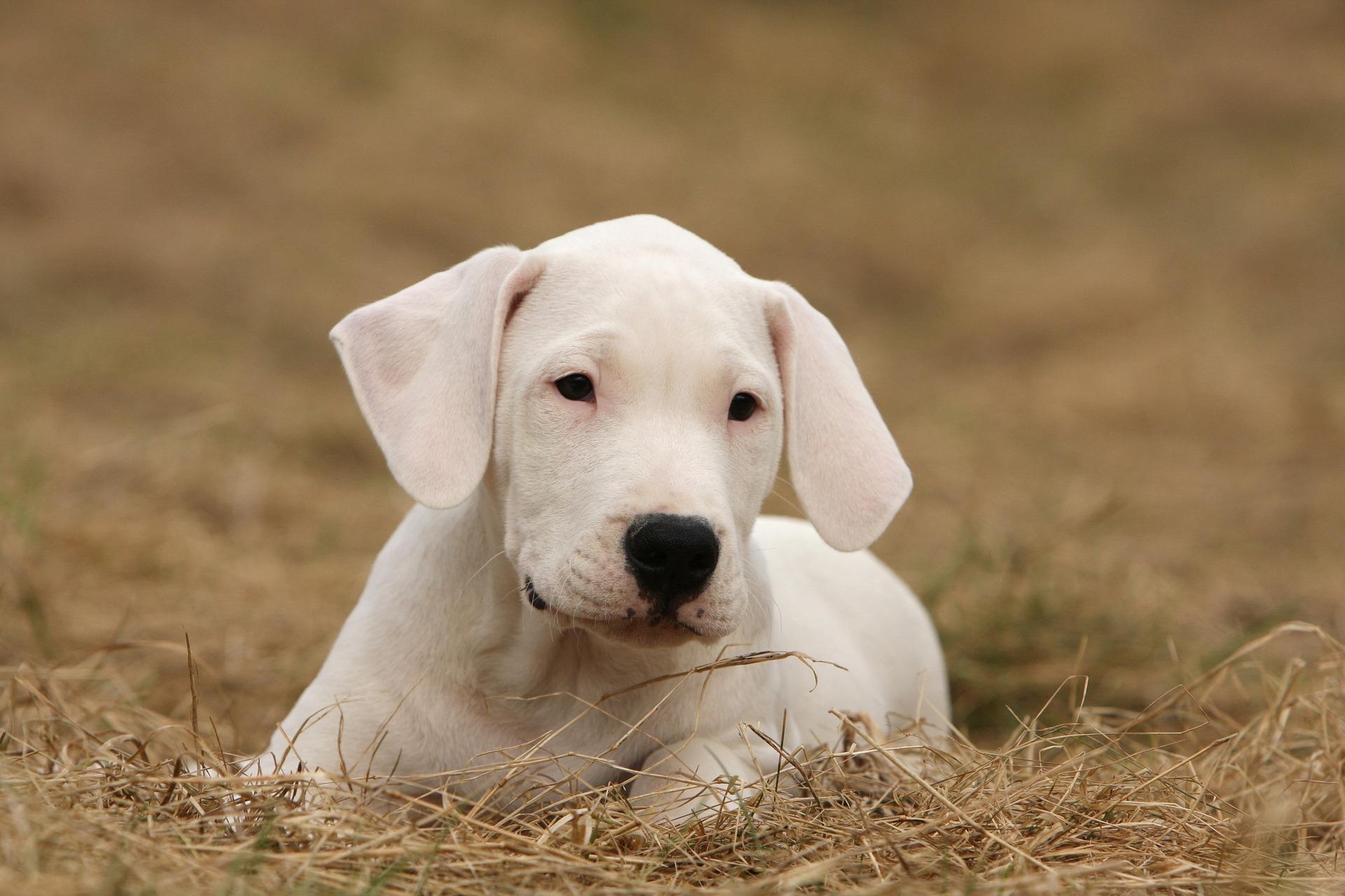 Argentijnse Dog
