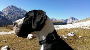 duitse dog - Deense Dog