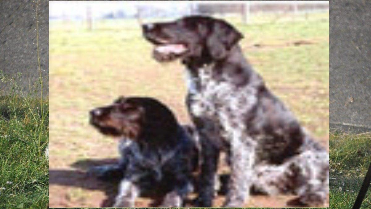 Duitse staande hond, draadhaar