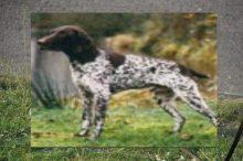 Duitse staande hond, korthaar