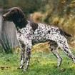 Duitse staande hond