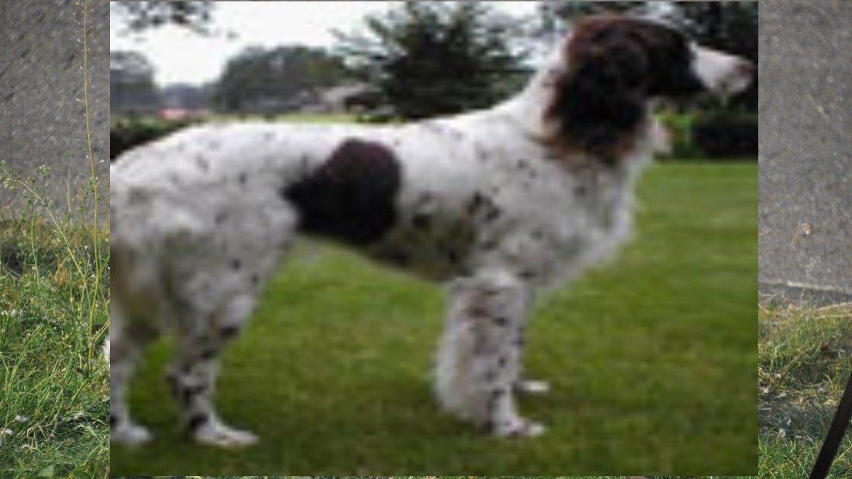 duitse-staande-hond-langhaar