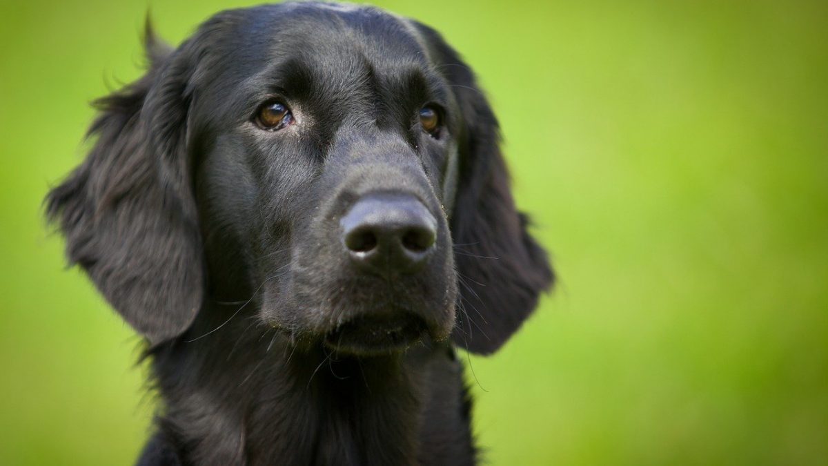 flatcoated-retriever