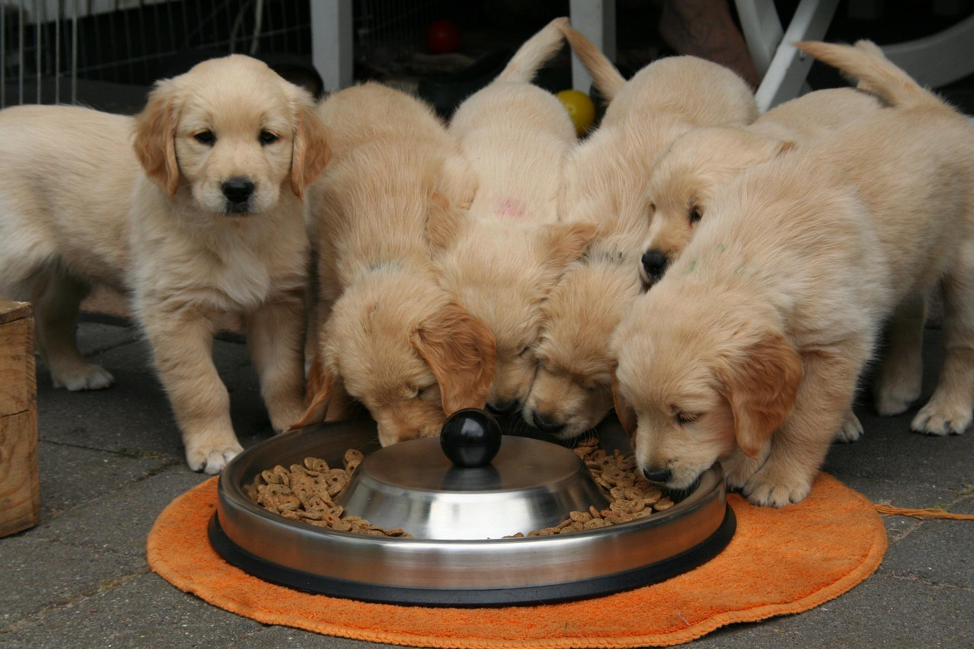 golden-retriever-pups