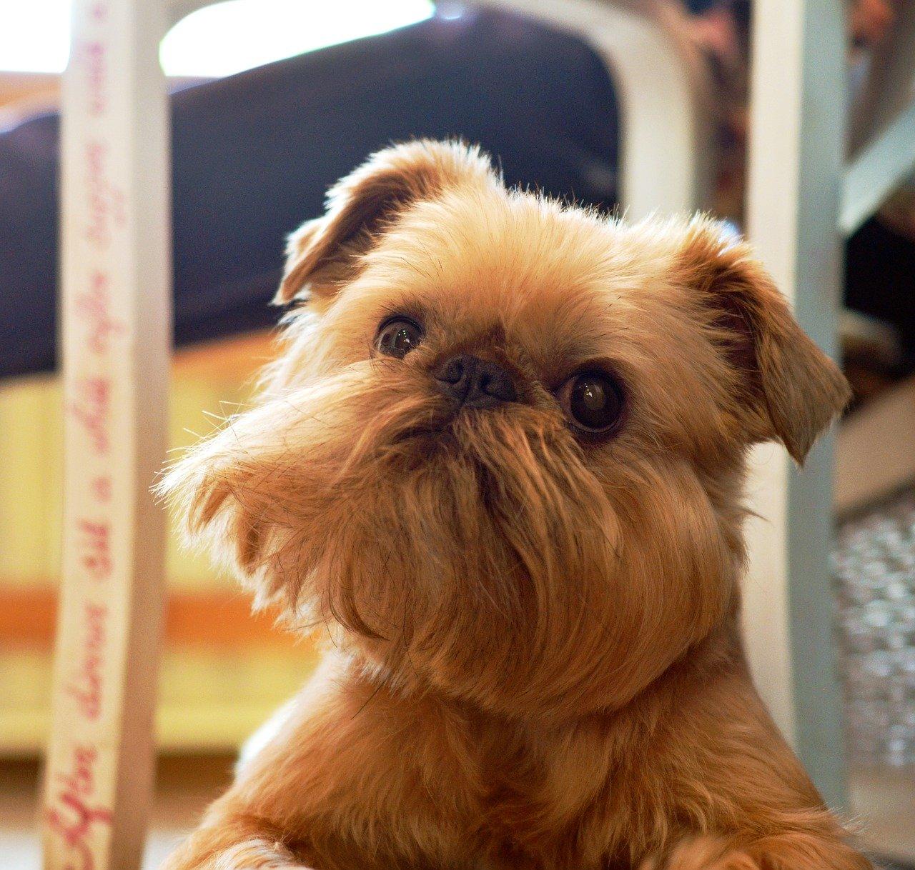 Griffon Bruxellois - Hondenrassen voor een appartement