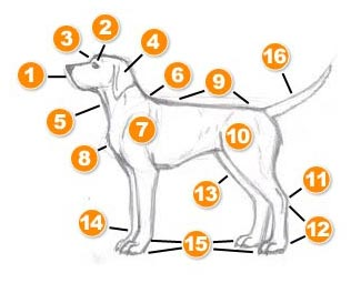 hond-anatomie