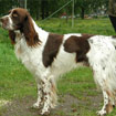 Ierse Rood-Witte Setter