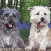 Irish Glen of Imaalterrier