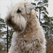 Irish Softcoated Wheaten Terrier
