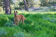 laekense-herdershond