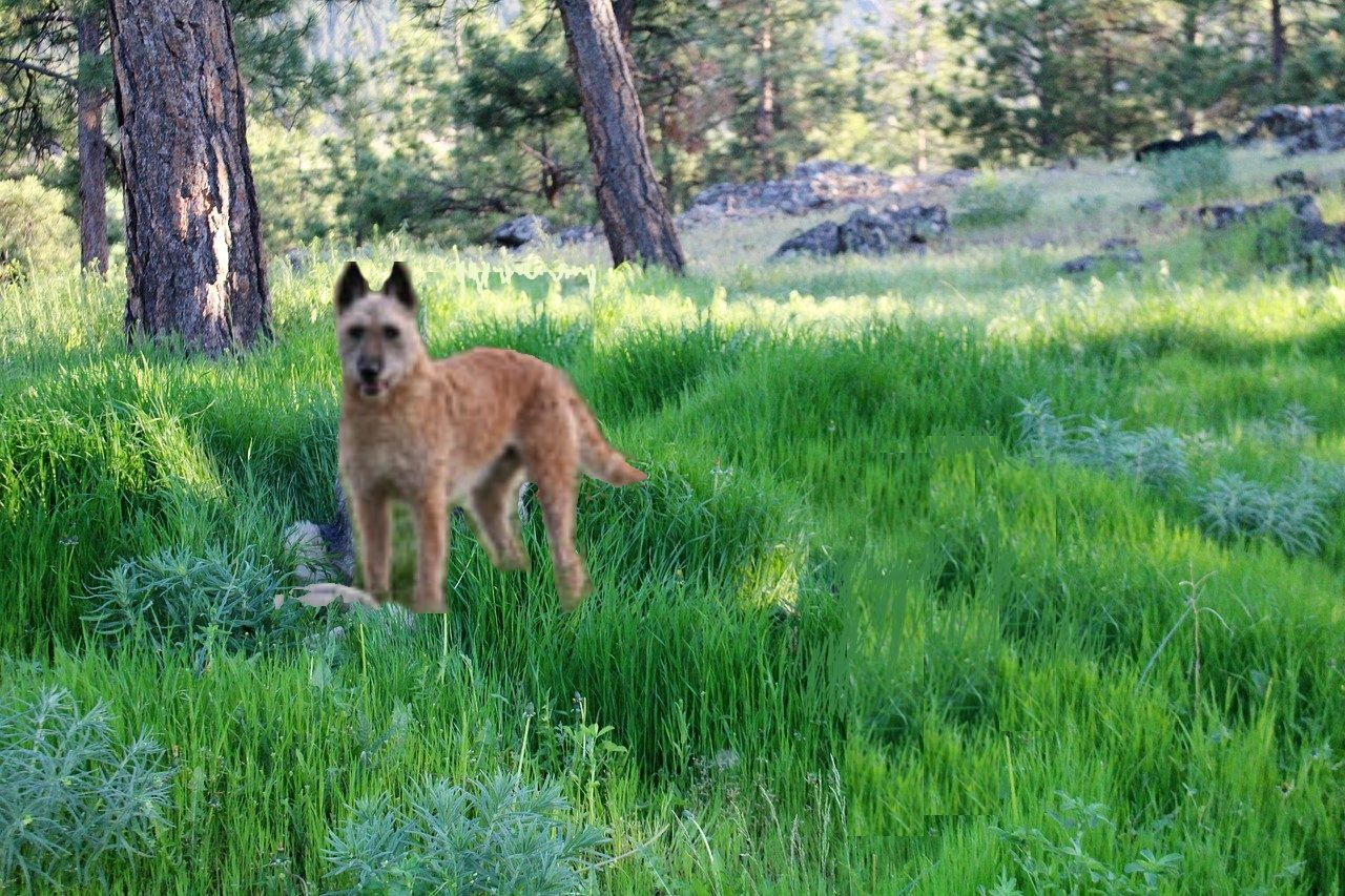 12 populaire herdershonden - laekense-herdershond