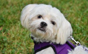 maltezer hond - maltezer hond