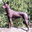 Mexicaanse naakthond of Xoloitzcuintle