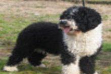 perro-de-agua-espanol