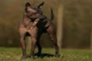 peruaanse-naakthond