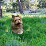 Picardische herdershond