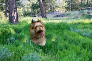 picardische-herdershond