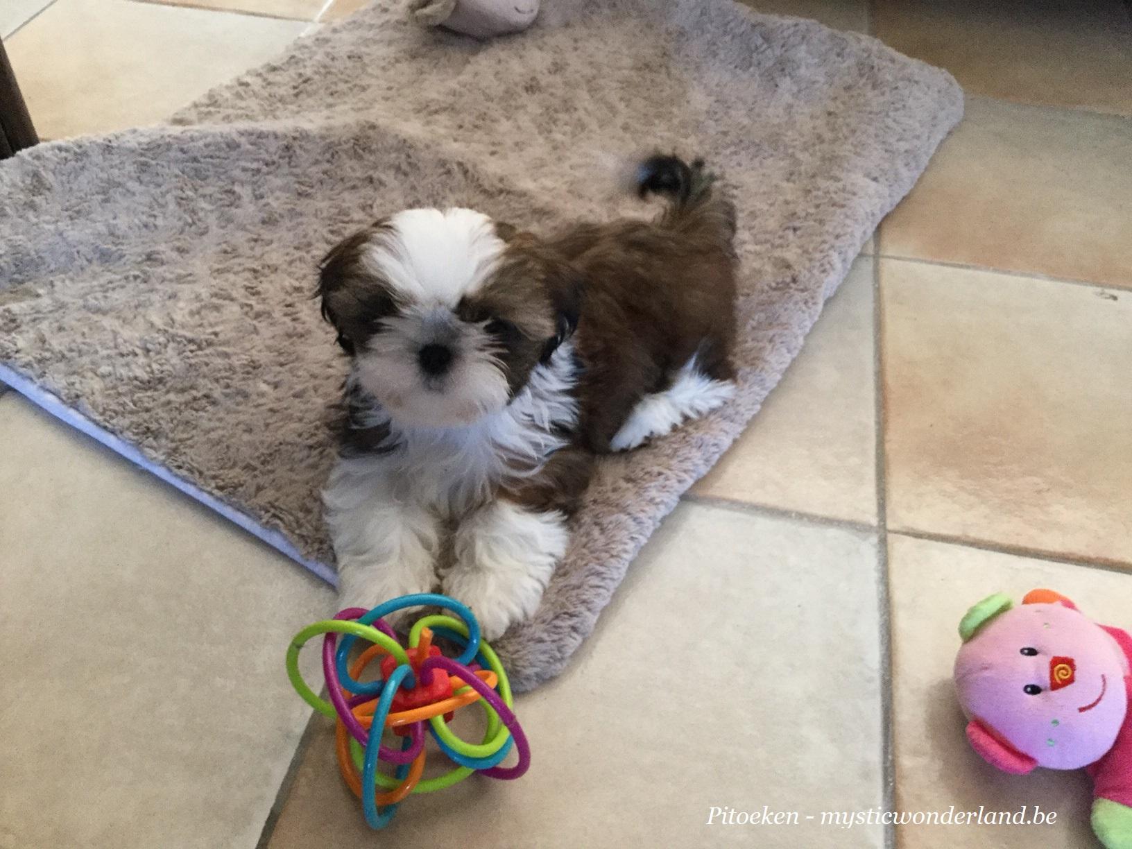 Puppy shih-tzu Mysticwonderland