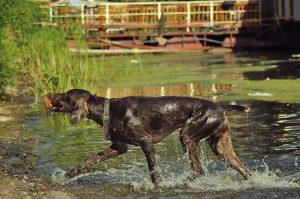 pointer hond