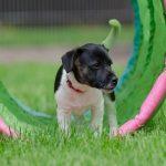 Een goede puppycursus vinden