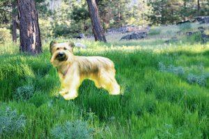 pyreneese-herdershond