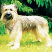 Pyreneese herdershond