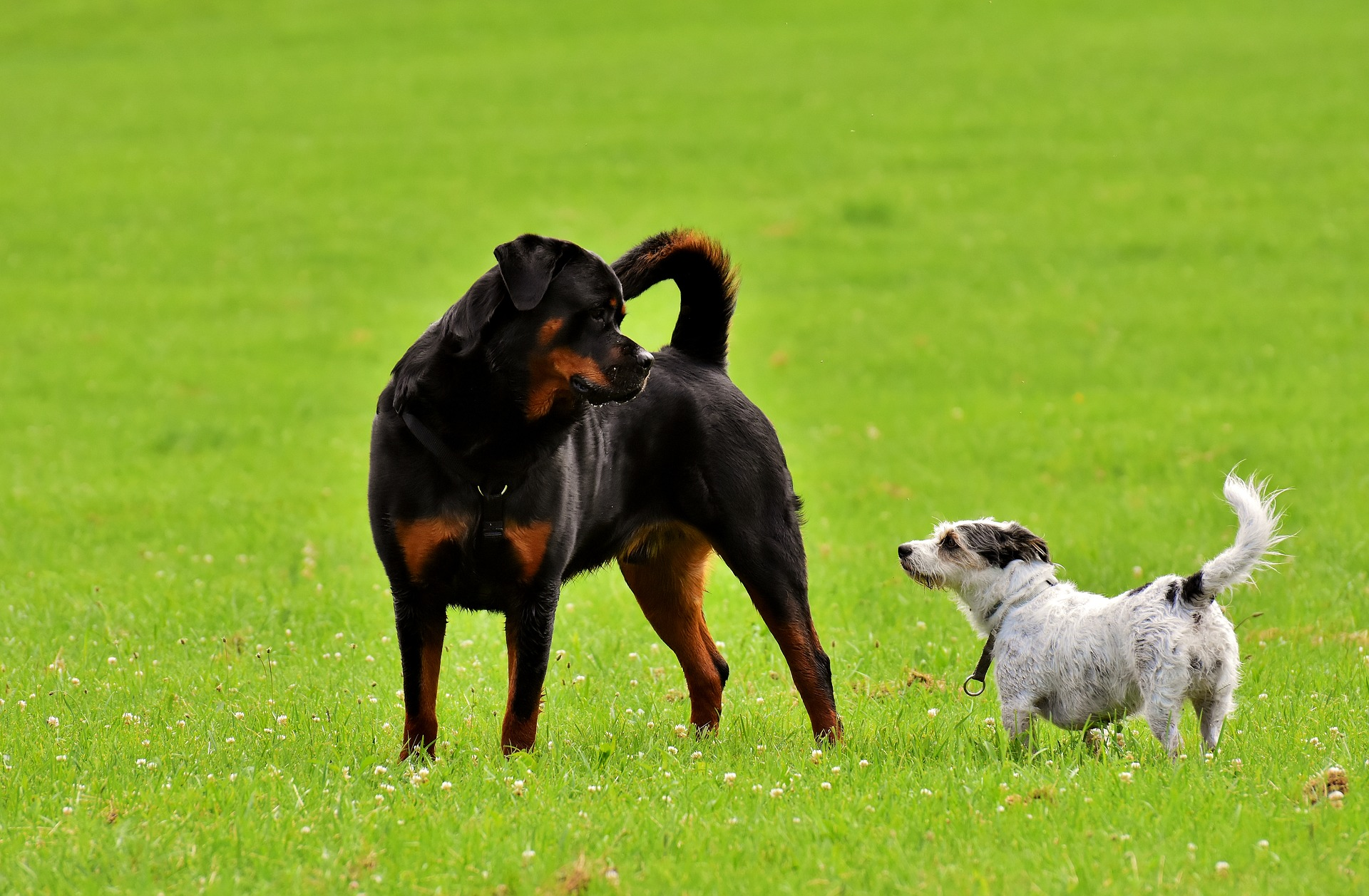 Gevaarlijke hondenrassen - rottweiler trainen
