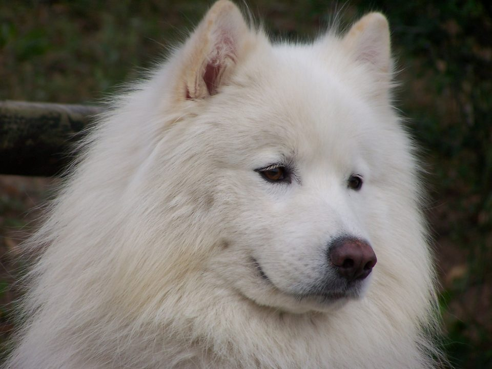 samojeed puppy