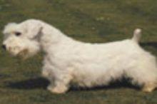 sealyham-terrier
