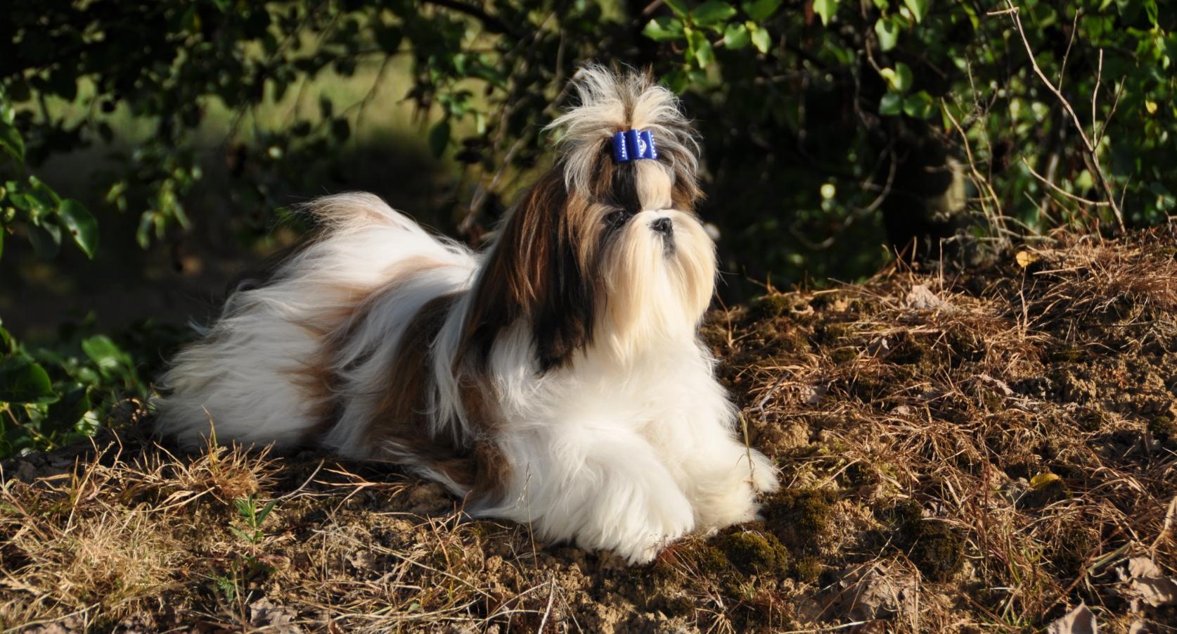 shihtzu - Hondenrassen voor een appartement