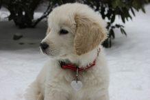 tatrahond puppy