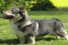 zweedse-vallhund